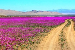 Malva flowers grow on the Atacama Desert every five to seven years.