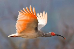 Thanks to conservation efforts, the population of crested ibises in China has grown to over 2,000.