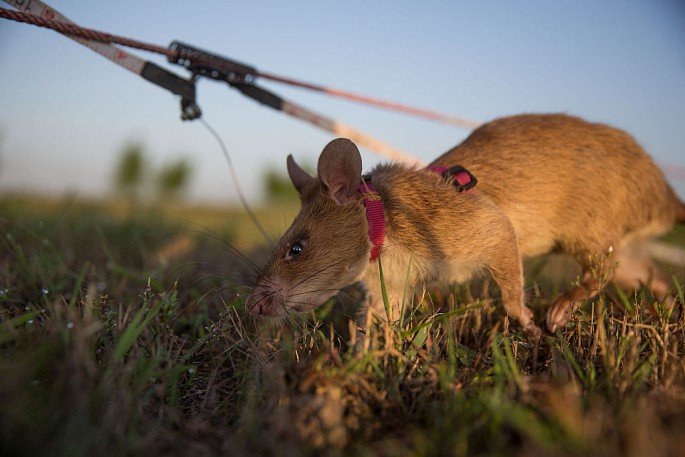 Cambodia's Demining Authority Train Giant Rats To Detect Landmines