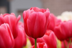 Shanghai Botanical Gardens will feature beds of tulips for next spring's Shanghai International Flower Show.
