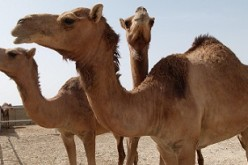 A study led by Chinese researchers has revealed that the MERS coronavirus infects most Arabian camels and has diverged into five variants.
