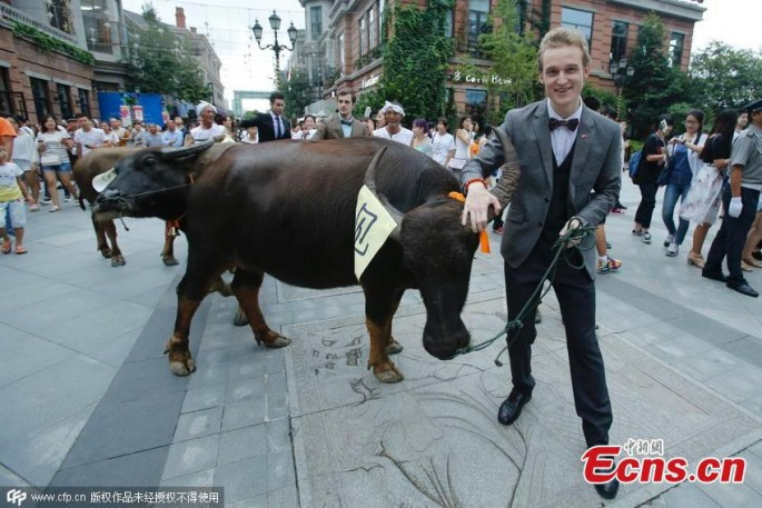 A foreigner leads a cow during the celebration of Qixi Festival in Wuhan, Central China's Hubei Province, Aug. 19, 2015.