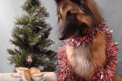 A dog is entangled with a Christmas ornament glances at pastries.