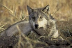 Chinese scientists believe that gray wolves are the common ancestors of more than 400 dog breeds in the world today.