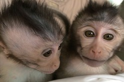 Here are two members of a second generation of monkeys that inherited an autism-related trait from genetically modified parents.