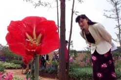 A tourist looks at a flower in China's International Horticulture Exhibition in Kunming, capital of southwest Yunnan Province.
