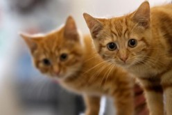 Milly, a 13-week-old kitten waits with her brother Charlie (L) to be re-homed at The Society for Abandoned Animals Sanctuary in Sale, Manchester.