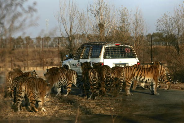 World wild tiger population increases for the first time aft